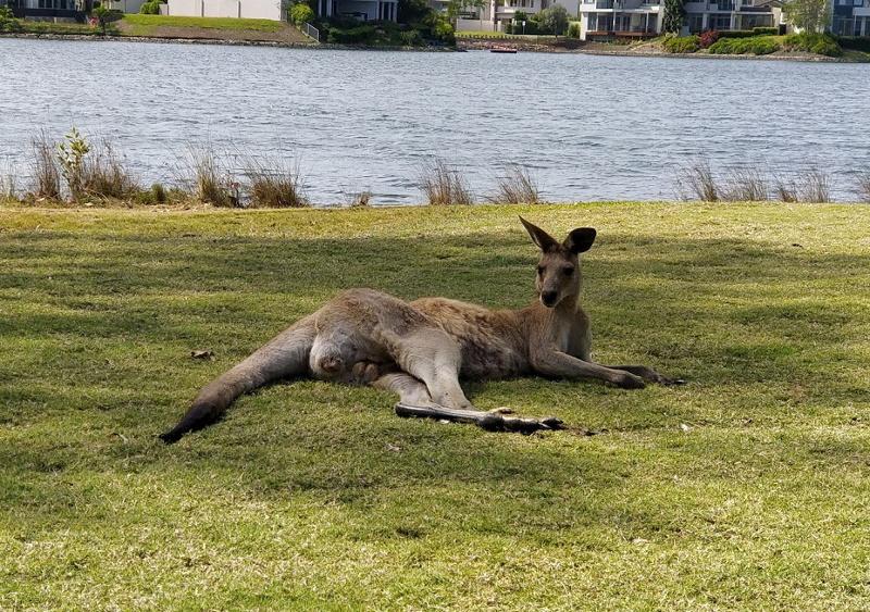 Hope-Island-Kangaroo