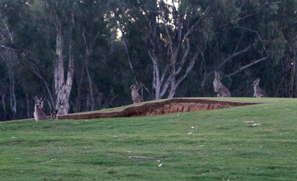 Some of the locals checking out a greenside bunker on the Murray Course at Yarrawonga