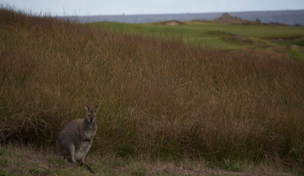 King Island Wallaby_large