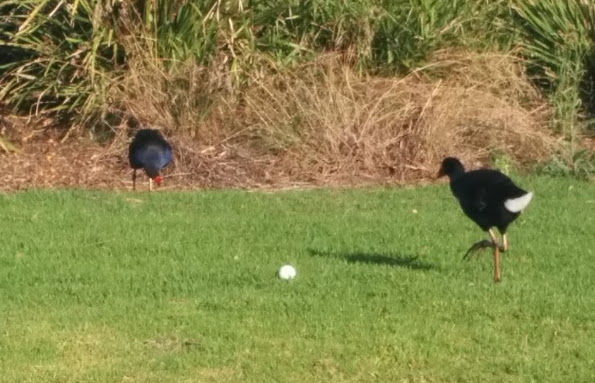 "After almost being killed by a wayward golf ball, even the Swamphens aren't amused by the ""You nearly got a birdie mate!"" line"